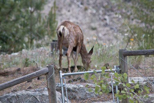 deer-fawn-2