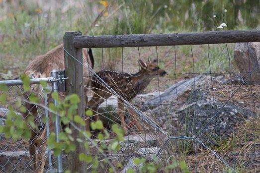 deer-fawn-3