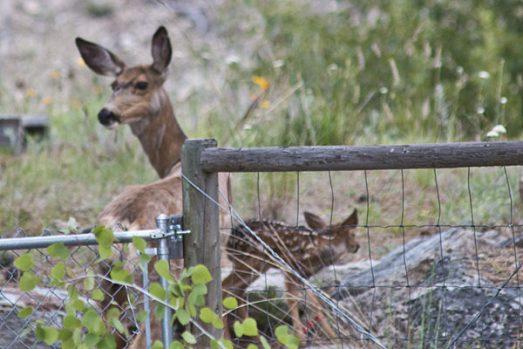 deer-fawn-4