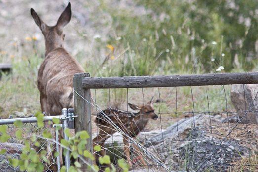 deer-fawn-5